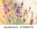 romantic lavender bushes... | Shutterstock . vector #571880170