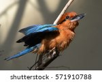 The Guam Kingfisher ...