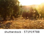 olive trees  yellow and green... | Shutterstock . vector #571919788
