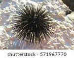 Small photo of Sea urchin (sea hedgehog) from Adriatic sea