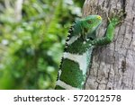 Fiji Crested Iguana On Palm Tree