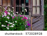 white and pink petunias growing ...   Shutterstock . vector #572028928