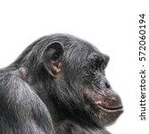 Thinking Chimpanzee Portrait...