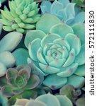 a group of miniature succulent...   Shutterstock . vector #572111830