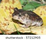 Spadefoot Toad (Scaphiopus holbrookii) at Horseshoe Lake SFWA - Illinois
