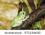 a green frog. sitting on a tree ... | Shutterstock . vector #572134630