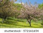 Pink Double Cherry Blossoms An...