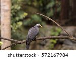 Small photo of African olive pigeon known as Columba arquatrix perches on a branch.