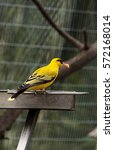 Small photo of African golden oriole known as Oriolus auratus eating at a feeder