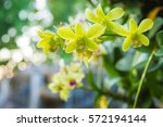 close up orchids and bokeh...   Shutterstock . vector #572194144
