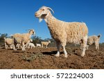 Angora Goats On A Rural Africa...