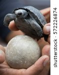 baby tortoise and egg held by... | Shutterstock . vector #572226874