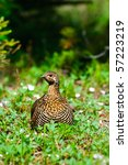 Spruce Grouse in a meadow in summer, Kananaskis Country Alberta Canada - stock photo