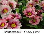 Spring Pink Primroses