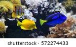 Sea Fish  Blue Tang ...