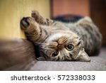 Stock photo cute cat lying on his back on the carpet breed british mackerel with yellow eyes and a bushy 572338033