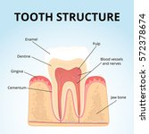 the structure of human teeth ... | Shutterstock .eps vector #572378674
