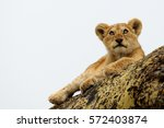 A Young Lion Cub Perches On A...