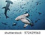 Hammerhead Shark  Cocos Island...