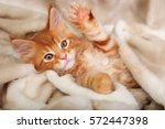 Stock photo beautiful red solid maine coon kitten covered in warm blanket and playing the paw soft portrait 572447398