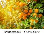 orange tree. | Shutterstock . vector #572485570