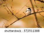 Black Capped.  The Black Cappe...