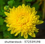 Closeup Shot Of Blooming Yello...