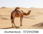 Lonely Camel In The Desert...