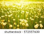 meadow of dandelions to make... | Shutterstock . vector #572557630