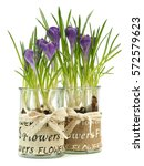 crocus flowers grow in... | Shutterstock . vector #572579623