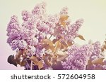 Purple Lilac Bush Spring Time
