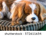 Stock photo cute sleeping puppy doll in direct sunlight 572611654