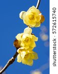 Small photo of Wintersweet twig,yellow flower on branch in winter.