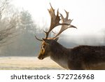 Fallow Deer With Beautiful And...