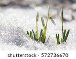 blooming snowdrops flowers in... | Shutterstock . vector #572736670