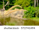 Gold Grass Stalk With Lake...