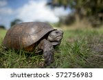 Stock photo a gopher tortoise walking in green grass with a blue sky behind it on a bright sunny day 572756983