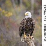 Bald Eagle Canadian Raptor...