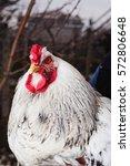 Small photo of portrait of white cock. light Brahma