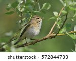 a singing willow warbler... | Shutterstock . vector #572844733