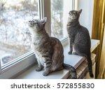 Two Gray Cat Near A Window