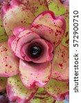 Small photo of Flower of Bromeliad, Aechmea fasciata, Urn Plant, Bromeliaceae, Aechmea