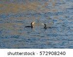 two cormorants meeting langford ... | Shutterstock . vector #572908240