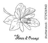 hand drawn orange blossom... | Shutterstock .eps vector #572926960