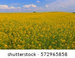 beautifully yellow oilseed rape ... | Shutterstock . vector #572965858