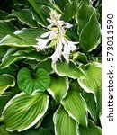 Blooming White Hosta