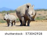 african white rhino  national... | Shutterstock . vector #573042928