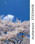 cherry blossoms blooming in... | Shutterstock . vector #573254458