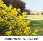 australian wattle blooms... | Shutterstock . vector #573261109