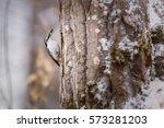 nuthatch bird   Shutterstock . vector #573281203